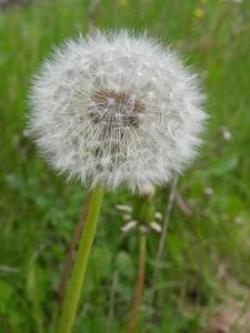 wonderful-blowball-1280699-m